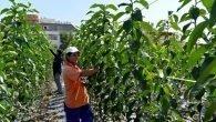 Muratpaşa Turunç üretiyor