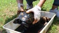Zift içindeki kaplumbağalara yardım eli
