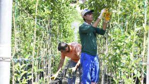 Muratpaşa turunç fidanı üretiyor