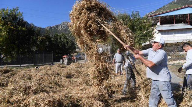Konyaaltı Belediyesi fasulye hasat etti…
